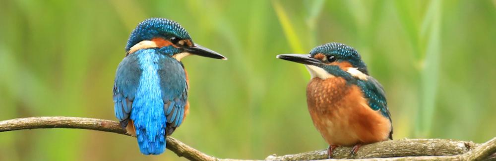 wetland-to-wetland-greenway-kingfishers-banner