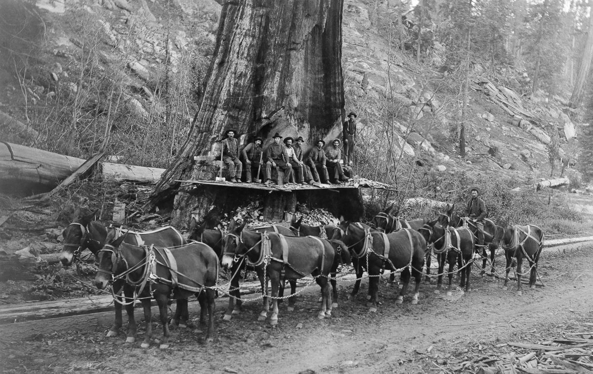 Loggers and a ten-mule team prepare to fell a giant Sequoia tree