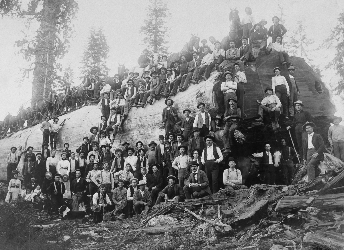 Over 100 people stand with a logged giant sequoia tree