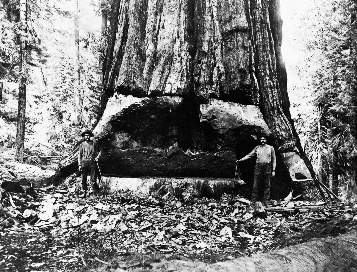 Cutting Giant Sequoia