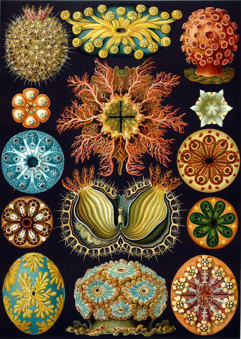 800px-Haeckel_Ascidiae
