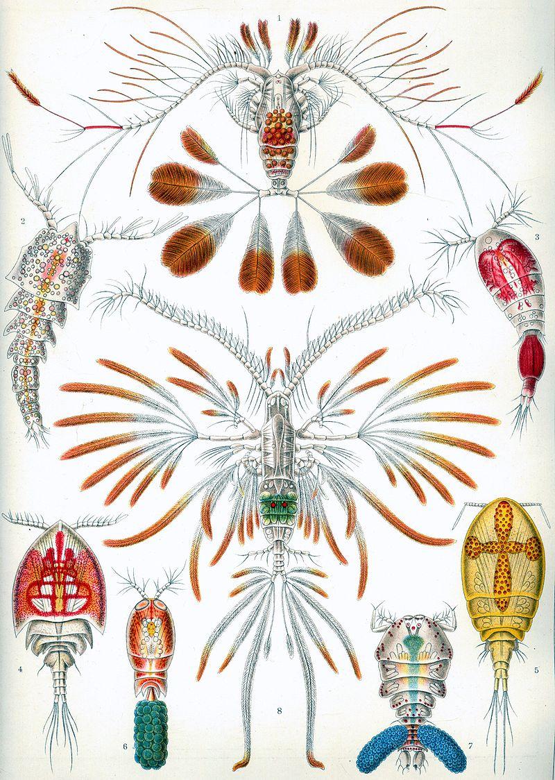 800px-Haeckel_Copepoda