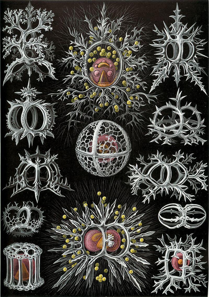 800px-Haeckel_Stephoidea