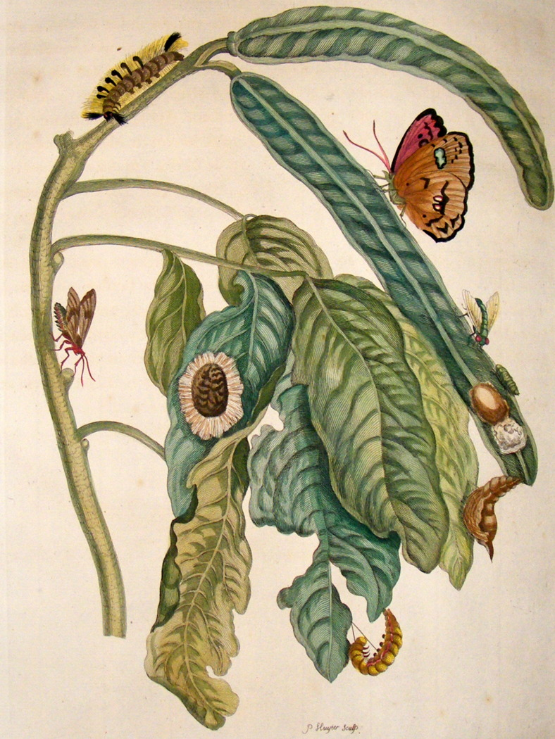maria-merian-insects-of-surinam-1719-lg-folio.-pearly-eye-butterfly-58-[2]-58385-p
