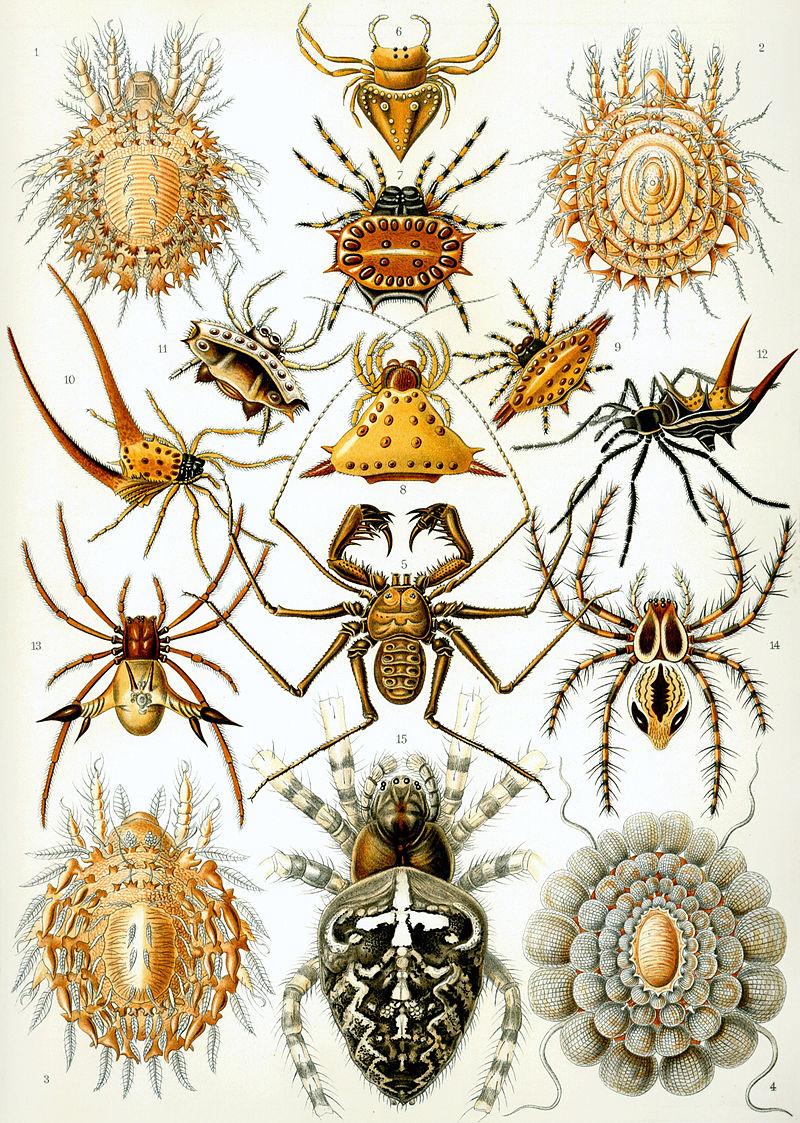 800px-Haeckel_Arachnida