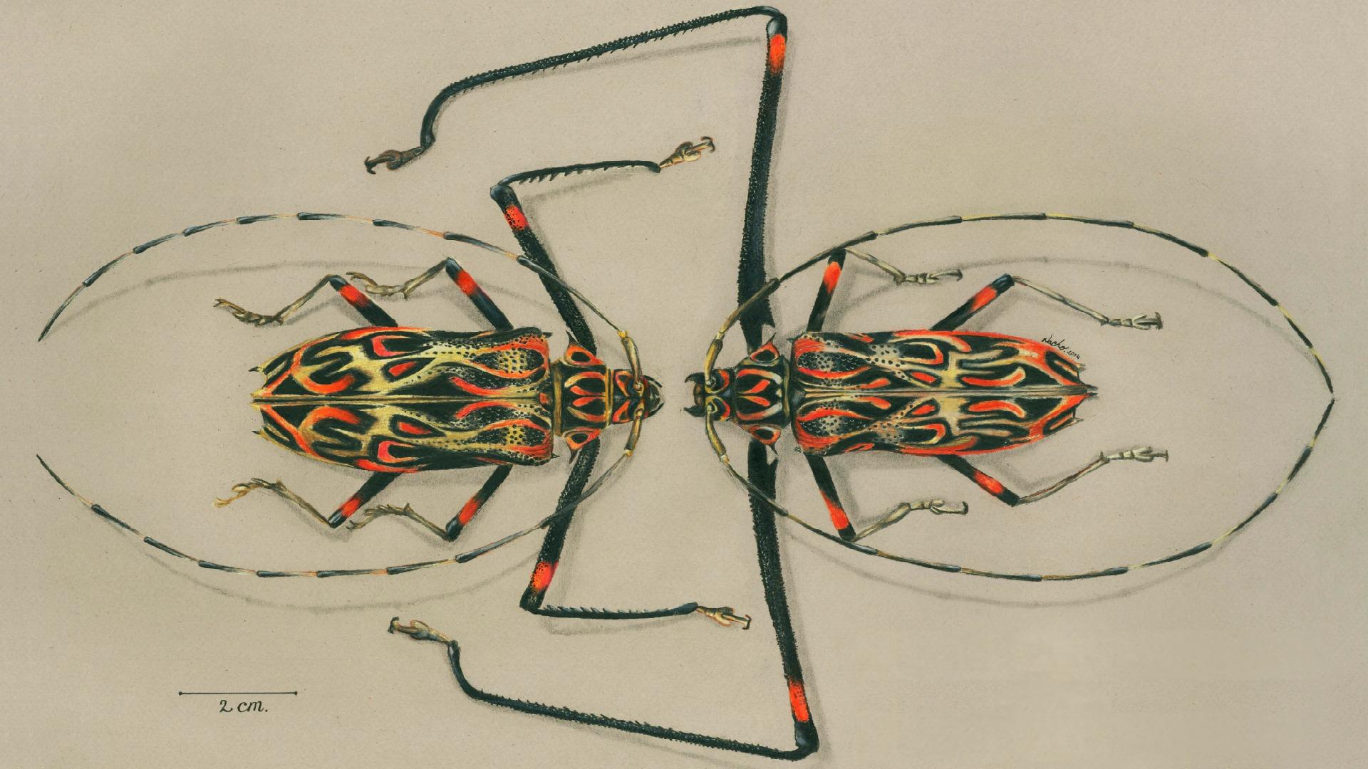 Acrocinus longimanus male and female - Jorge Ignacio Mesa Alvarez