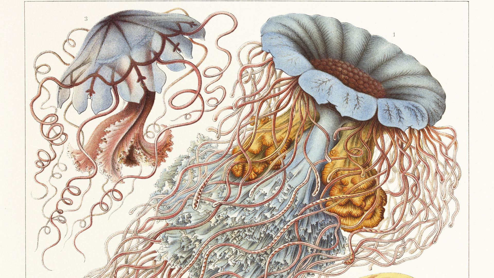 El científico que hizo famoso a Darwin y pintó la belleza de la fauna marina