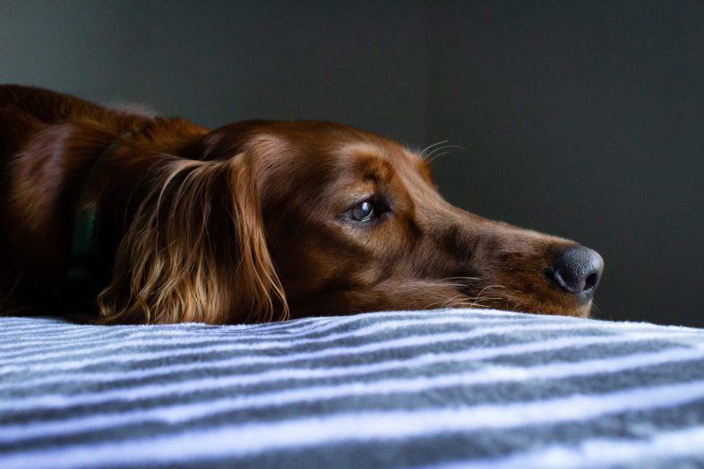 tristeza mascotas